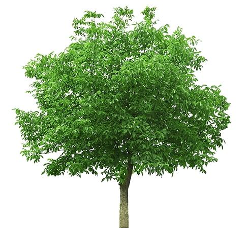 walnut tree for making beautiful walnut furniture